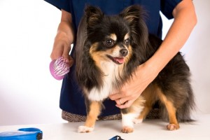 little chihuahua dog being groomed