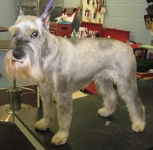 well groomed schnauzer